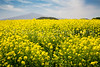 Blooming yellow canola field on Jeju Island, South Korea, Asia.