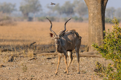 Male kudu with oxpeckers