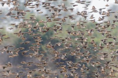 Quelea flock