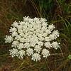 Queen Anne's Lace Daucus carota
