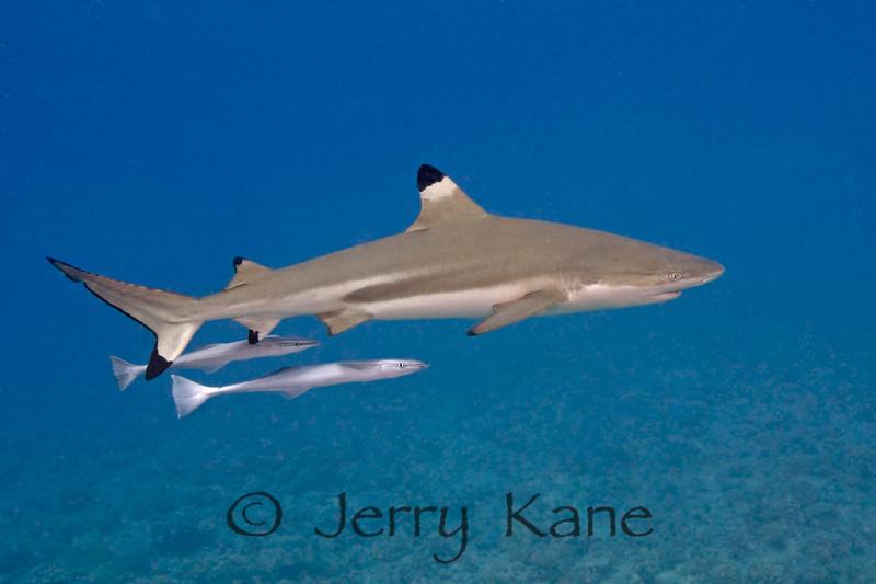 Blacktip Shark (Carcharhinus melanopterus) - Bora Bora, French Polynesia