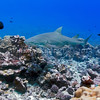 Sicklefin Lemon Shark (Negaprion acutidens) Requiem shark, Bora Bora