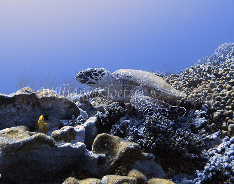 Reptile<br /> Hawksbill Turtle (Eretmochelys imbricata)<br /> <br /> critically-endangered species