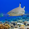 Blacktip Reef Shark (Negaprion acutidens) Requiem shark, Bora Bora
