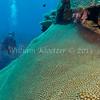 hard coral (Favia) phylum Cnidaria - class Anthozoa - subclass Hexacorallia Fiji