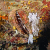 Giant Thorny Oyster (Spondylus varius) phylum Mollusca - class Bivalvia Fiji