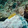 Phyllidia ocellata phylum Mollusca - class Gastropoda - clade Heterobranchia - clade Nudipleura - clade Nudibranchia (dorid nudibranch) Fiji