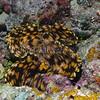Crocus Giant Clam (Tridacna crocea) phylum Mollusca - class Bivalvia Fiji