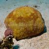Pillow Cushion Star (Culcita novaeguineae) phylum Echinodermata - class Asteroidea Fiji