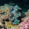 Fluted Giant Clam (Tridacna squamosa) phylum Mollusca - class Bivalvia Fiji
