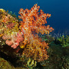 Divaricate Tree Coral (Dendronephythya roxasia) phylum Cnidaria - class Anthozoa - subclass Octocorallia Fiji