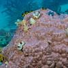 Christmas Tree Worm (Spirobranchus giganteus) phylum Annelida - class Polychaeta Fiji