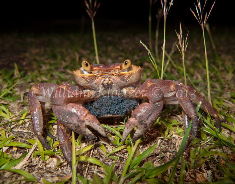 Land Crab phylum Arthropoda - subphylum Crustacea - class Malacostraca - order Decapoda Fiji