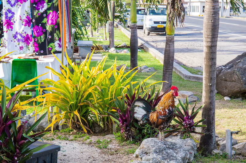 A rooster greeted us on Rarotonga