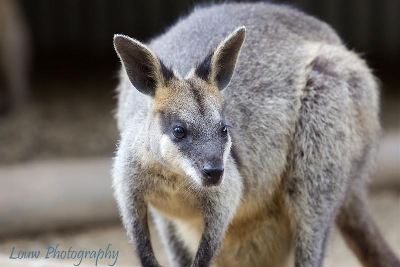Kangaroo, Featherdale Wildlife Park, New South Wales