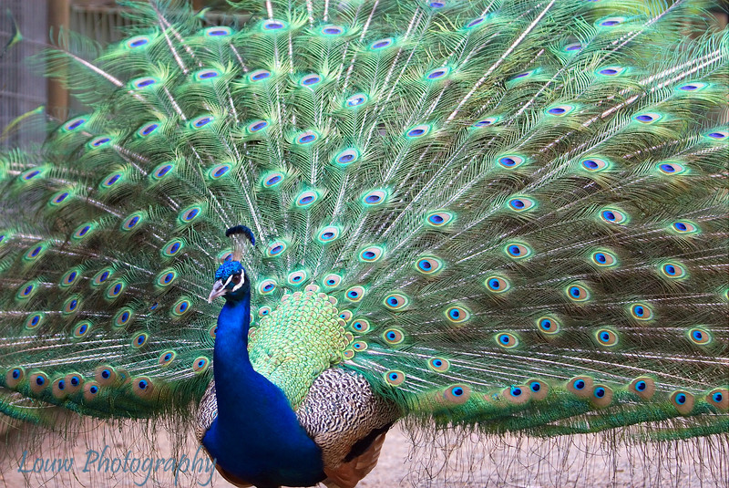 Peacock, Featherdale Wildlife Park, New South Wales