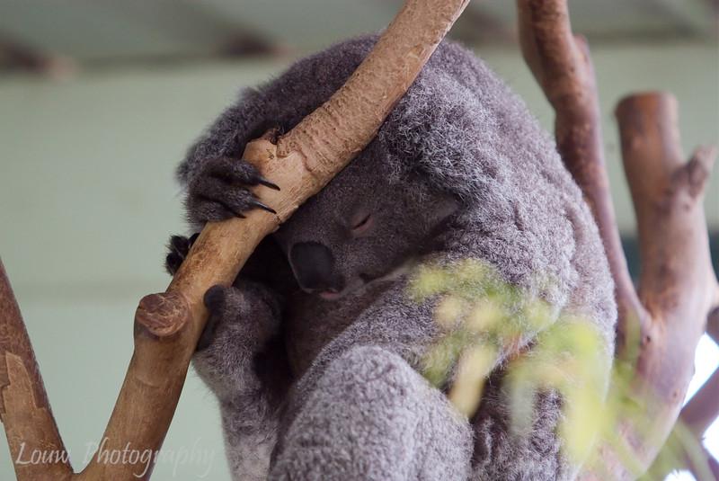 Sleeping Koala,  Featherdale Wildlife Park, New South Wales