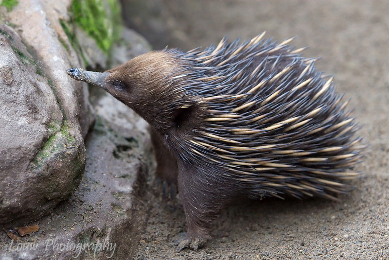 Short-beaked Echidna, Featherdale Wildlife Park, New South Wales