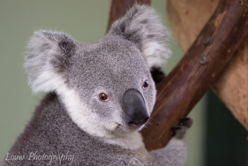 Koala, Featherdale Wildlife Park, New South Wales