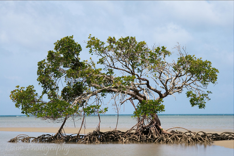 Mangrove Tree, North Queensland, Australia