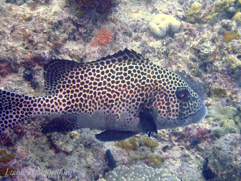 "Many-Spotted Sweetlips (Plectorhinchus chaetodonoides), Steve's Bommie, <a target=""NEWWIN"" href=""http://en.wikipedia.org/wiki/Great_Barrier_Reef"">Great Barrier Reef</a>, Australia"