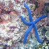 Blue starfish (<i>Linckia laevigata</i>) at Lighthouse Bommie, Great Barrier Reef, Australia