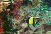 "Moorish Idol (<i>Zanclus cornutus</i>) at Lighthouse Bommie, <a target=""NEWWIN"" href=""http://en.wikipedia.org/wiki/Great_Barrier_Reef"">Great Barrier Reef</a>, Australia"