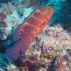 "Coral Cod (<i>Cephalopholis miniata</i>) at Steve's Bommie, <a target=""NEWWIN"" href=""http://en.wikipedia.org/wiki/Great_Barrier_Reef"">Great Barrier Reef</a>, Australia"