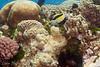 """Moorish Idol (<i>Zanclus cornutus</i>) at Steve's Bommie, <a target=""""NEWWIN"""" href=""""http://en.wikipedia.org/wiki/Great_Barrier_Reef"""">Great Barrier Reef</a>, Australia"""