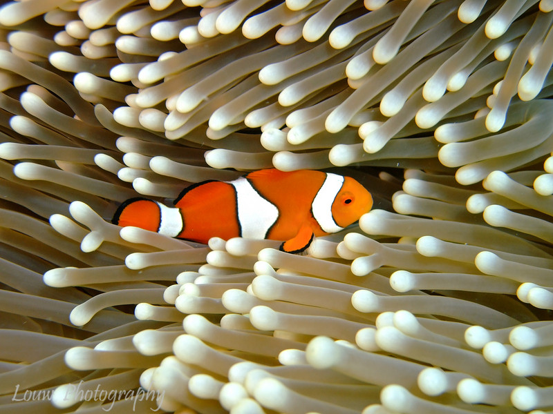 "True clownfish (<i>Amphiprion percula</i>) at Steve's Bommie, <a target=""NEWWIN"" href=""http://en.wikipedia.org/wiki/Great_Barrier_Reef"">Great Barrier Reef</a>, Australia"