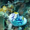 "Tunicate (<i>Polycarpa aurata</i>), Pixie Wall, <a target=""NEWWIN"" href=""http://en.wikipedia.org/wiki/Great_Barrier_Reef"">Great Barrier Reef</a>, Australia"