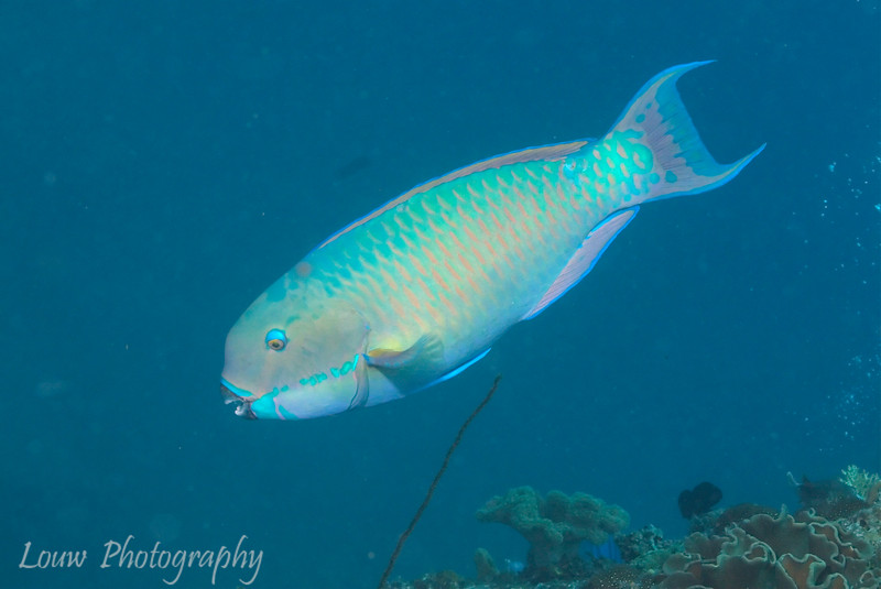 "Steephead Parrotfish (<i>Chlorurus microrhinos</i>)at Lighthouse Bommie, <a target=""NEWWIN"" href=""http://en.wikipedia.org/wiki/Great_Barrier_Reef"">Great Barrier Reef</a>, Australia"