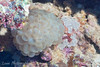 "Bubble Coral (<i>Plerogyra sinuosa</i>), Steve's Bommie, <a target=""NEWWIN"" href=""http://en.wikipedia.org/wiki/Great_Barrier_Reef"">Great Barrier Reef</a>, Australia"