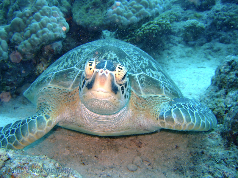 "Green Sea Turtle (<i>Chelonia mydas</i>) at Lighthouse Bommie, <a target=""NEWWIN"" href=""http://en.wikipedia.org/wiki/Great_Barrier_Reef"">Great Barrier Reef</a>, Australia"