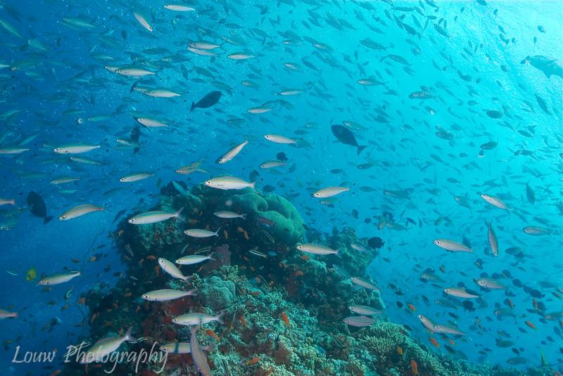 """Lighthouse Bommie, <a target=""""NEWWIN"""" href=""""http://en.wikipedia.org/wiki/Great_Barrier_Reef"""">Great Barrier Reef</a>, Australia"""