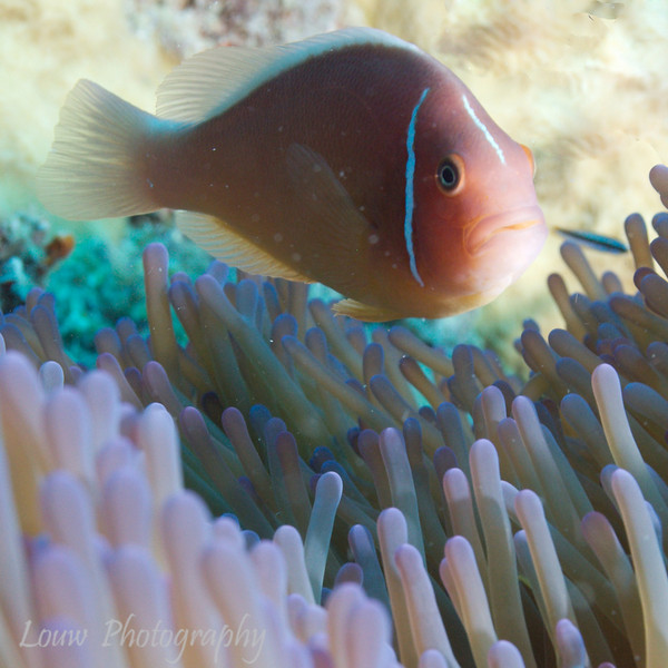 "Pink Anemonefish (Amphiprion perideraion) at Steve's Bommie, <a target=""NEWWIN"" href=""http://en.wikipedia.org/wiki/Great_Barrier_Reef"">Great Barrier Reef</a>, Australia"