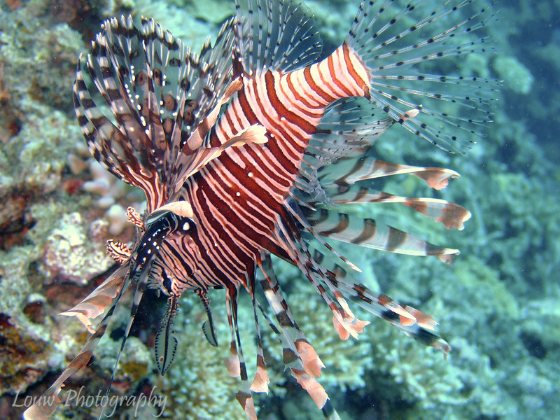 "Common Lionfish (Pterois volitans) at Steve's Bommie, <a target=""NEWWIN"" href=""http://en.wikipedia.org/wiki/Great_Barrier_Reef"">Great Barrier Reef</a>, Australia"