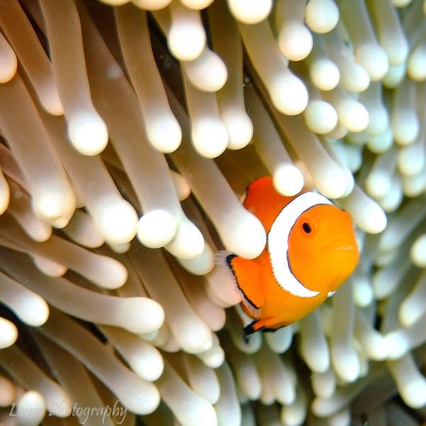 "True clownfish (<i>Amphiprion percula</i>) at Steve's Bommie, <a target=""NEWWIN"" href=""http://en.wikipedia.org/wiki/Great_Barrier_Reef"">Great Barrier Reef</a>, Australia"