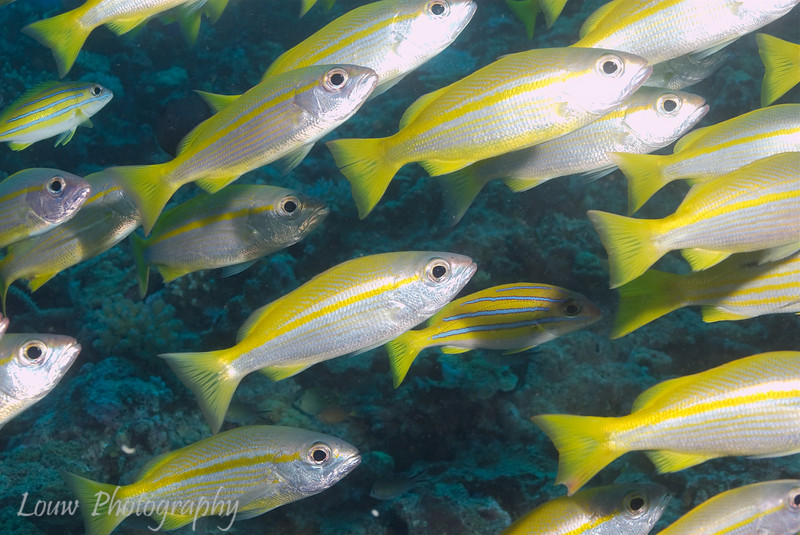 "Yellow striped snapper at Steve's Bommie, <a target=""NEWWIN"" href=""http://en.wikipedia.org/wiki/Great_Barrier_Reef"">Great Barrier Reef</a>, Australia"