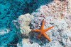 "Red Starfish (<i>Fromia indica</i>) at Flare Point, <a target=""NEWWIN"" href=""http://en.wikipedia.org/wiki/Great_Barrier_Reef"">Great Barrier Reef</a>, Australia"