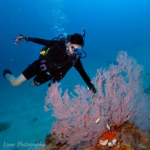 "Large fan coral at Pixie Wall, <a target=""NEWWIN"" href=""http://en.wikipedia.org/wiki/Great_Barrier_Reef"">Great Barrier Reef</a>, Australia"