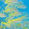 "Yellow striped snapper at Steve's Bommie, <a target=""NEWWIN"" href=""http://en.wikipedia.org/wiki/Great_Barrier_Reef"">Great Barrier Reef</a>, Australia"