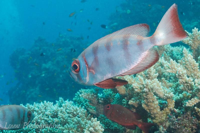 """Steve's Bommie, <a target=""""NEWWIN"""" href=""""http://en.wikipedia.org/wiki/Great_Barrier_Reef"""">Great Barrier Reef</a>, Australia"""