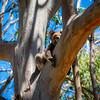 Koala Bear in Tree Looking