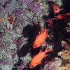 Bigscale Soldierfish (Myripristis berndti) at the Great White Wall, Rainbow Reef, Taveuni