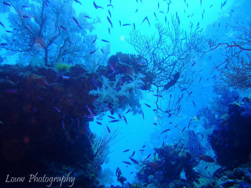 Great White Wall, Rainbow Reef, Taveuni