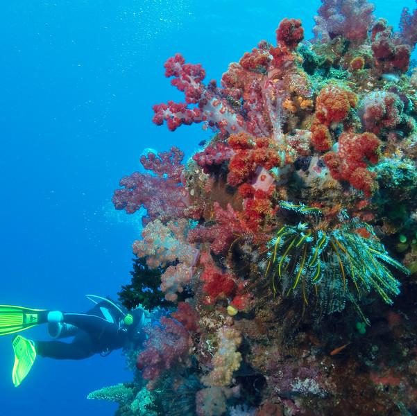 Great White Wall, Rainbow Reef, Taveuni, Fiji