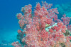Soft coral at The Ledge, Rainbow Reef, Taveuni, Fiji