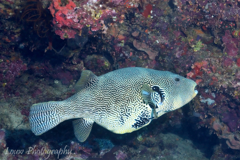 Map Puffer (Aronthron mappa) at The Ledge, Rainbow Reef, Taveuni, Fiji