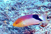 Blackfin Hogfish (Bodianus loxozonus), Great White Wall, Rainbow Reef, Taveuni